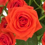Jazzabell Dark Orange Spray Roses up close