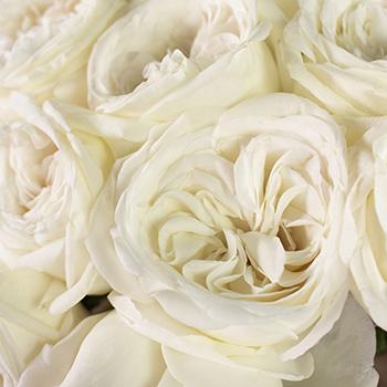Jeanne Moreau Garden Roses up close