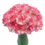 Jera Bicolor Pink and White Carnation Flowers In a vase