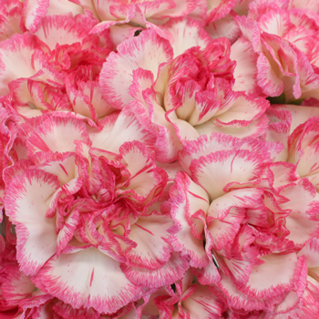 Jera Bicolor Pink and White Wholesale Carnations Up close