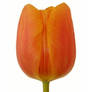 Jimmy Orange Tulips Wholesale Flower Up close