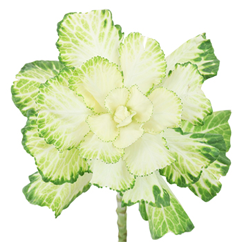 Cream Designer Ornamental Kale Flower