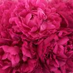 Kansas Magenta Pink Peonies up close
