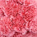 Carnation Flower Light Pink