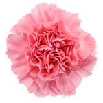 Kaori Pink Carnation Flower Bloom