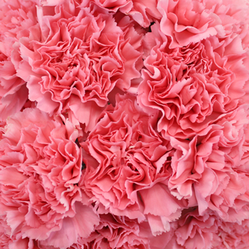 Kaori Pink Wholesale Carnations Up close