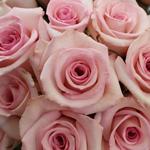 Fresh Cut Rose Blushing Akito Light Pink