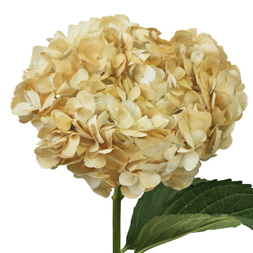 Khaki Hydrangea Wholesale Flower Up close