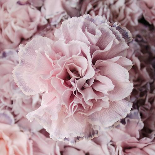 Killua Pink and Lavender Carnation Flowers Up Close