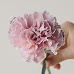 Killua Pink and Lavender Carnations side stem