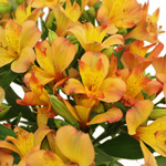 Kiss of Orange alstroemeria Wholesale Flower Upclose
