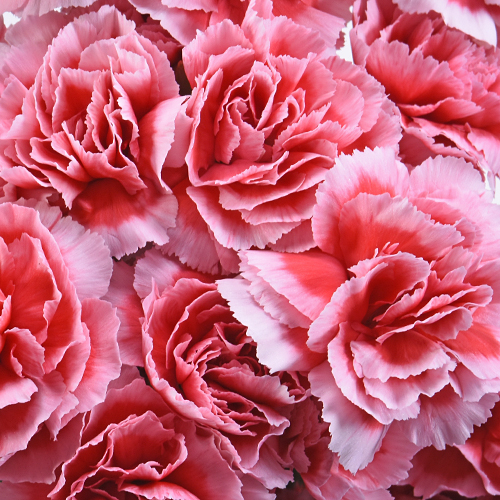 Knock Out Mini Wholesale Carnations Up close