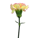 Fresh White and Pink Carnation Flower