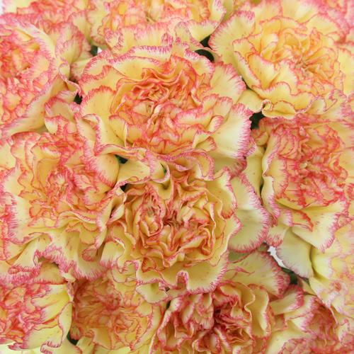 Komachi Fiesta Peachy Yellow and Pink Wholesale Carnations Up close