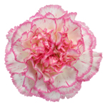 Komachi Pink and White Carnation Flower Bloom