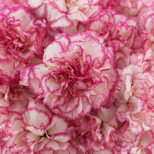 Komachi Pink and White Wholesale Carnations Up close