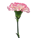 Komachi Pink and White Carnations side stem