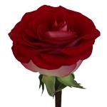 Bicolor Rose Latin Lady