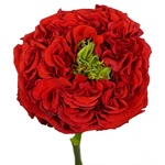 Latin Red Garden Rose Stem