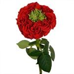 Latin Red Garden Rose Side Stem View