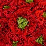 Latin Red Garden Roses up close