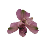 Lavender alstroemeria Wholesale Bloom