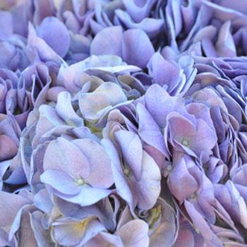 Lavender Blue Hydrangea Wholesale Flower Up close