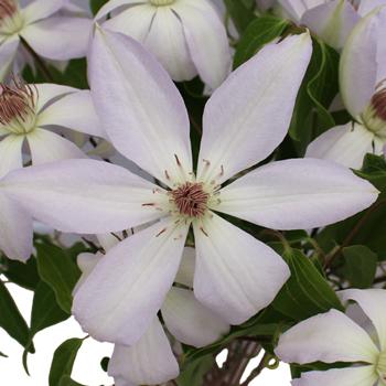 Lavender Blush Clematis Flower