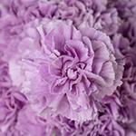 Lavender Wholesale Carnations Up close