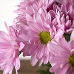 Lavender daisy pom DIY wedding flowers