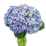 Lavender Hydrangea Flowers Up Close