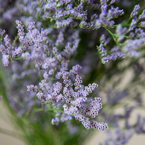 Limonium Purple Flower