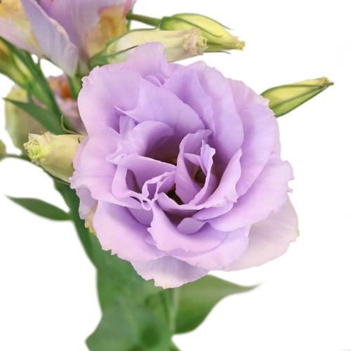 Lavender Designer Lisianthus Flower