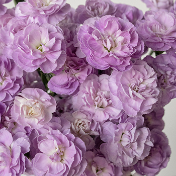 Lavender Mini Wholesale Carnations Up close