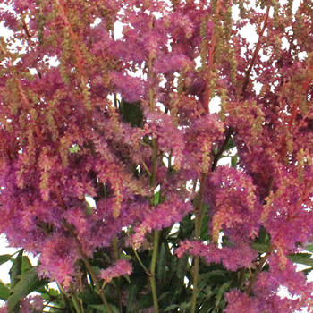 Amethyst Astilbe Texture Flower May to October