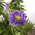Matsumoto Aster Lavender