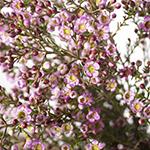 Pinky lavender wax DIY wedding flowers