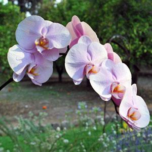 Phalaenopsis Orchid Bicolor Lavender Blush