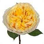 Lemon Chiffon Garden Rose Stem