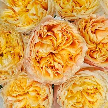 Lemon Chiffon Garden Roses up close