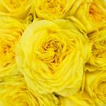 Yellow garden rose called the lemon pompom is a vibrant flower