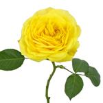 Lemon Yellow Pompom Garden Rose Side Stem View