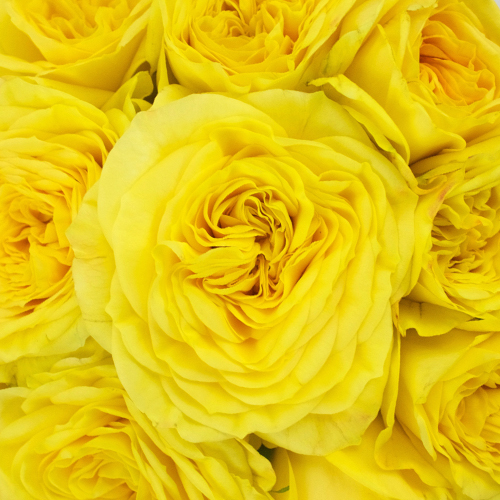 Lemon Yellow Pompom Garden Roses up close