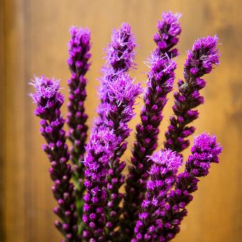 Liatris Purple Flower