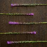 Liatrus_Fresh_Cut_Flower