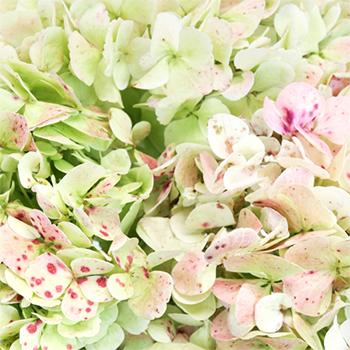 Light Antique Green Hydrangea Wholesale Flower Up close