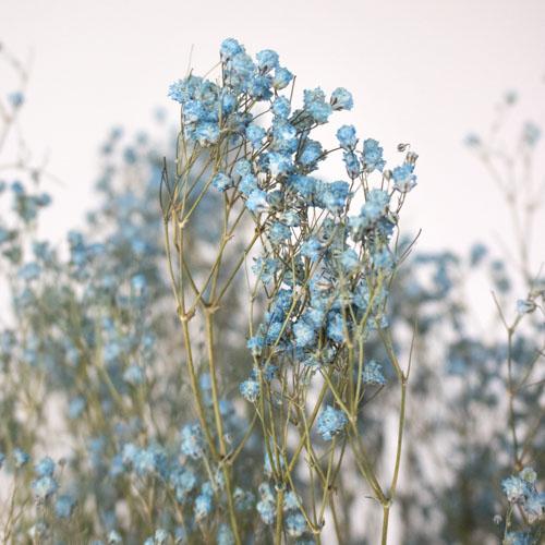 Glass Slipper Light Blue Dried Gypsophila