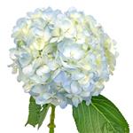 Light Blue Hydrangea Wholesale Flower Up close