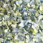 Blue Hydrangea Fresh Flower Petals