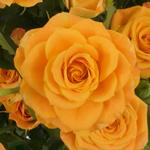 Light Golden Orange Spray Roses up close